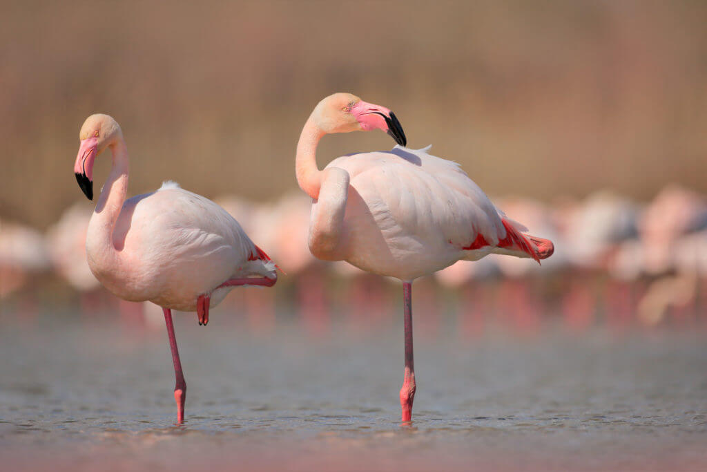Pink big bird Greater Flamingo, Phoenicopterus ruber, in the water, Camargue, France. Flamingo cleaning plumage. Wildlife animal scene from nature. Wildlife nature travel in France.