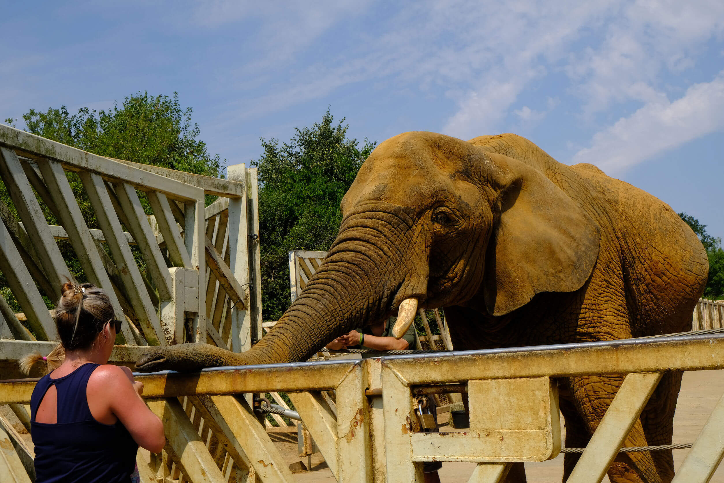 Colchester Zoo, Essex, Uk - July 27, 2018:  Elephant with his trunk resting on railing waiting for feeding time.