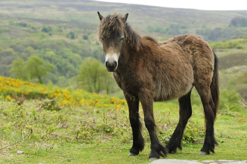 Young Exmoor Pony against moorland background, Somerset