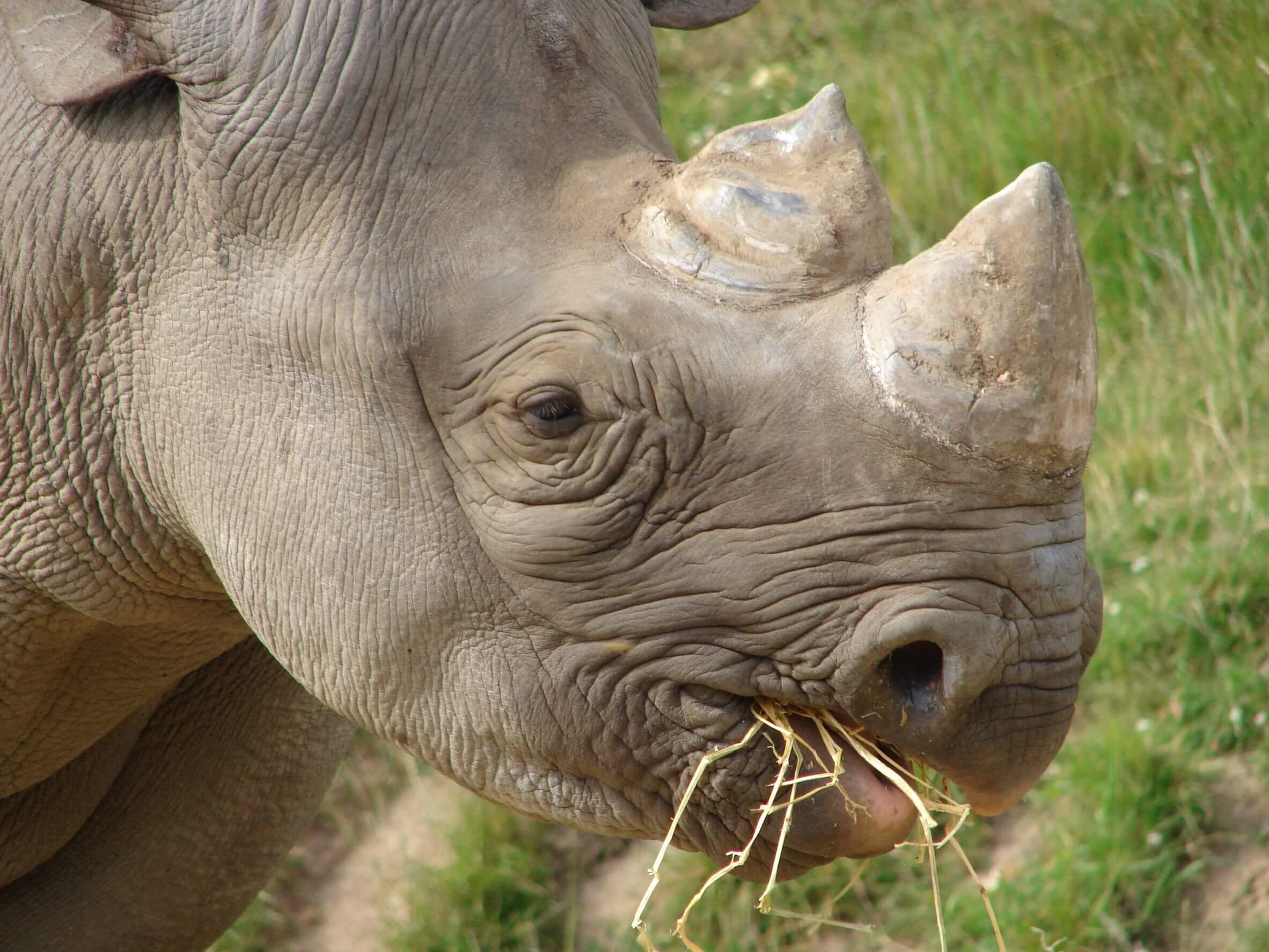 21739170 - black rhino at chester zoo