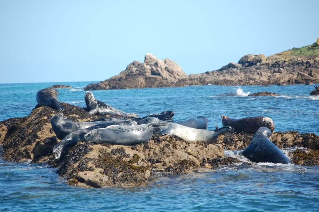13703957 - group of atlantic grey seals in scilly isles