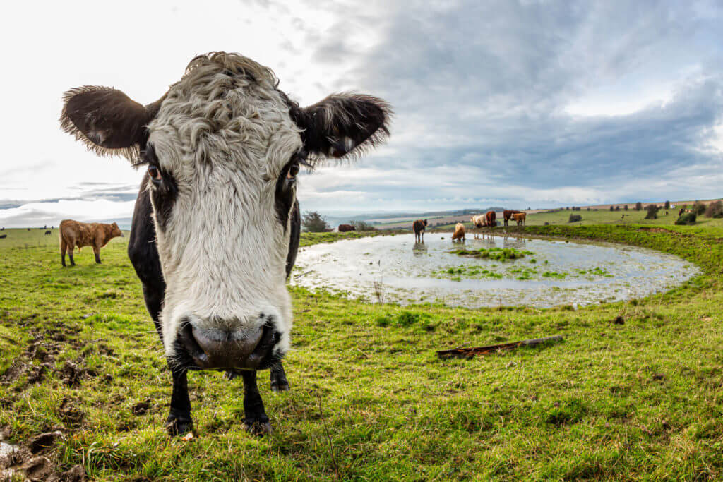 A cow standing near a dew pond on Ditchling Beacon in Sussex, taken with a fish eye lens
