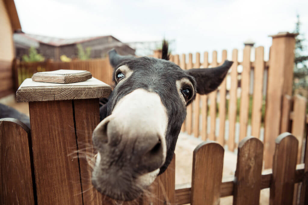 close up view of little donkey looking at camera in zoo